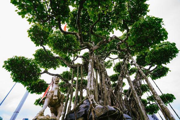 Siêu cây trị giá 20 triệu USD, người Nhật trả không bán-3