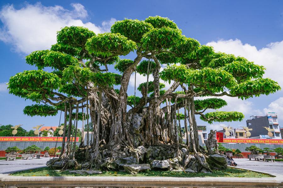 Siêu cây trị giá 20 triệu USD, người Nhật trả không bán-1