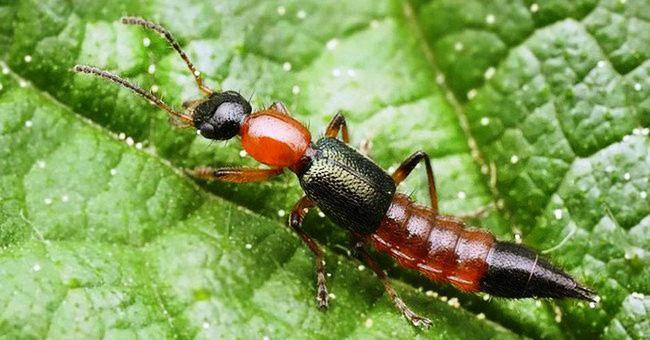 Có vết thương và bị dính độc kiến ba khoang thì nên bôi thuốc gì cho đỡ đau rát và nhanh khỏi nhất?-2