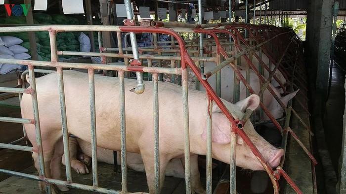 Giá thịt lợn cao kỷ lục và tiếp tục tăng, Việt Nam có nhập khẩu thịt?-2