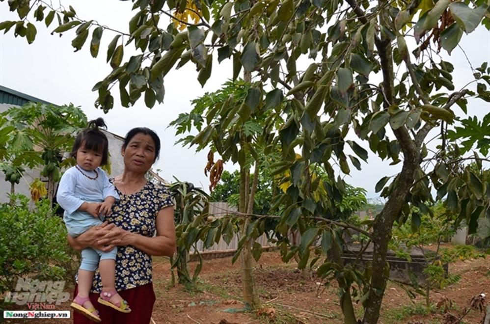 Chuyện thú vị quanh những cây hồng tiến vua sắp tuyệt chủng ở Phú Thọ-6
