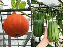Mẹ đảm Sài Gòn trồng rau sân thượng tốt um như...rau quả