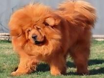 Giới nhà giàu chi cả chục tỷ để mua chó cưng thuần chủng