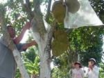Duy nhất Việt Nam, ngôi làng trồng 1 loại quả bán sang Trung Quốc thu 1.000 tỷ-4