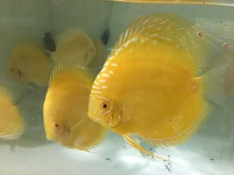 Trai Sài thành nuôi cá dĩa bán sang Tây, có cặp giá như vàng-2