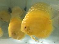 Trai Sài thành nuôi cá dĩa bán sang Tây, có cặp giá như vàng