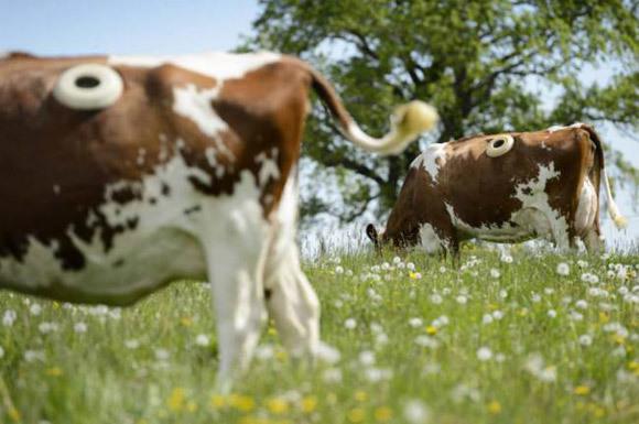 Trang trại kỳ lạ, đục lỗ trên thân các con bò để sống khoẻ hơn-1