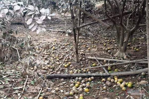 Hàng chục tấn cam đặc sản rụng tả tơi giữa vụ thu hoạch-1