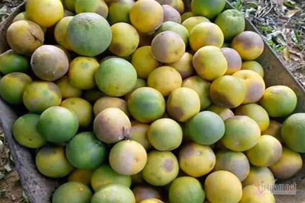 Hàng chục tấn cam đặc sản rụng tả tơi giữa vụ thu hoạch-3