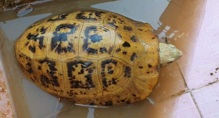 Bắt được rùa vàng lạ mắt trên sông Đồng Nai-1