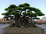 Mua cây sanh cổ quá cao, cắt làm đôi tạo thành 2 cây bán gần 20 tỷ-16