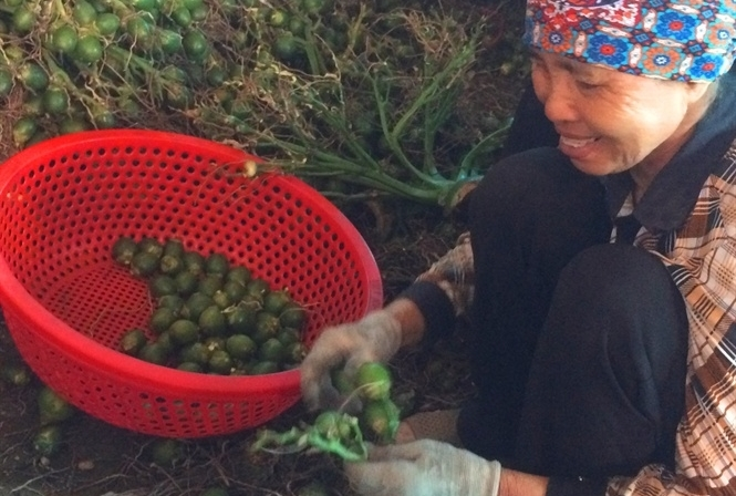 Duy nhất Việt Nam, ngôi làng trồng 1 loại quả bán sang Trung Quốc thu 1.000 tỷ-2