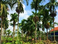 Duy nhất Việt Nam, ngôi làng trồng 1 loại quả bán sang Trung Quốc thu 1.000 tỷ