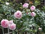 Đồng Tháp: Phát sốt với loài hoa hồng xanh được ví là hồng bất tử-2