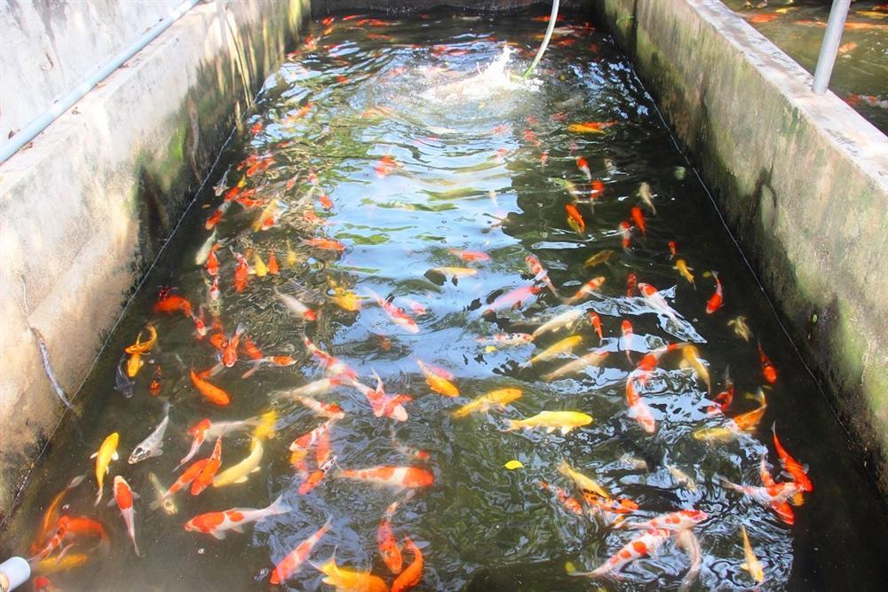 Nuôi bạt ngàn loài cá siêu đẹp, anh Luyện đút túi hơn 2 tỷ mỗi năm-2