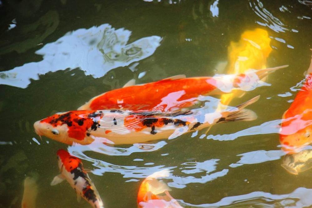 Nuôi bạt ngàn loài cá siêu đẹp, anh Luyện đút túi hơn 2 tỷ mỗi năm-5