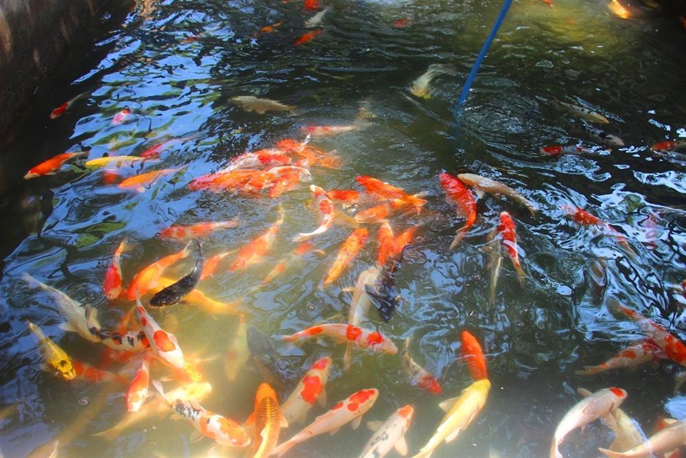 Nuôi bạt ngàn loài cá siêu đẹp, anh Luyện đút túi hơn 2 tỷ mỗi năm-9