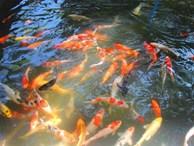 Nuôi bạt ngàn loài cá 'siêu đẹp', anh Luyện đút túi hơn 2 tỷ mỗi năm