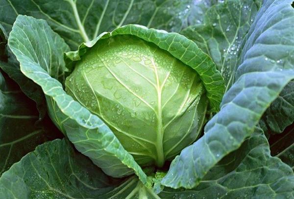 Bắp cải: Cực tốt và cực độc, biết mà tránh khi ăn kẻo rước họa vào thân-1