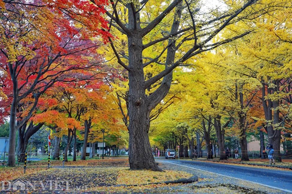 Hình ảnh mùa thu vàng tuyệt đẹp trên hòn đảo Hokkaido-3