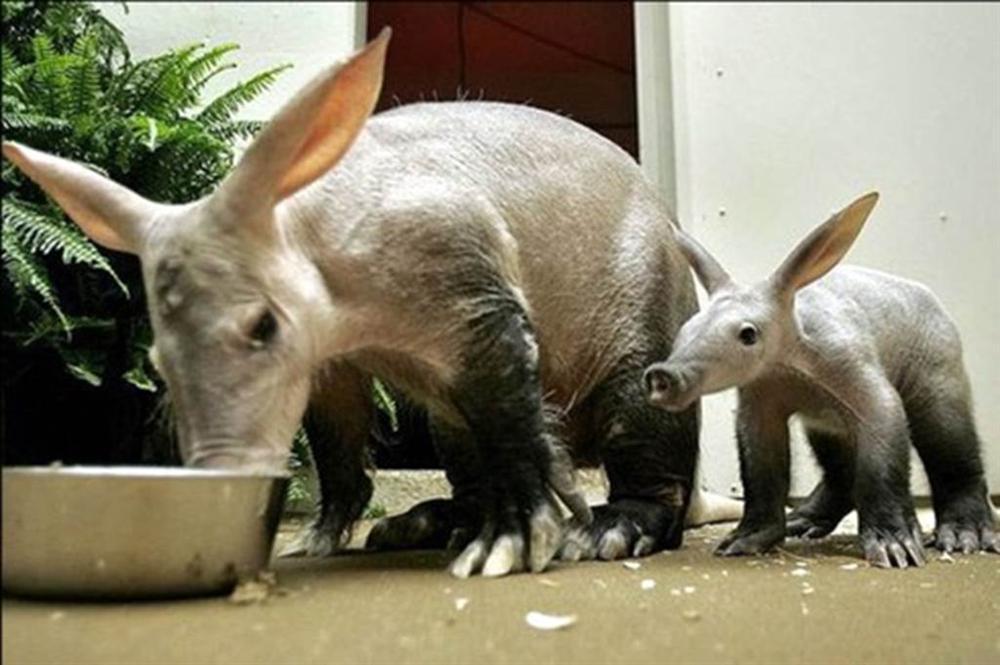 3 loài lợn quái vật: Loại như cừu, có vòi, dáng dị chưa từng thấy-12