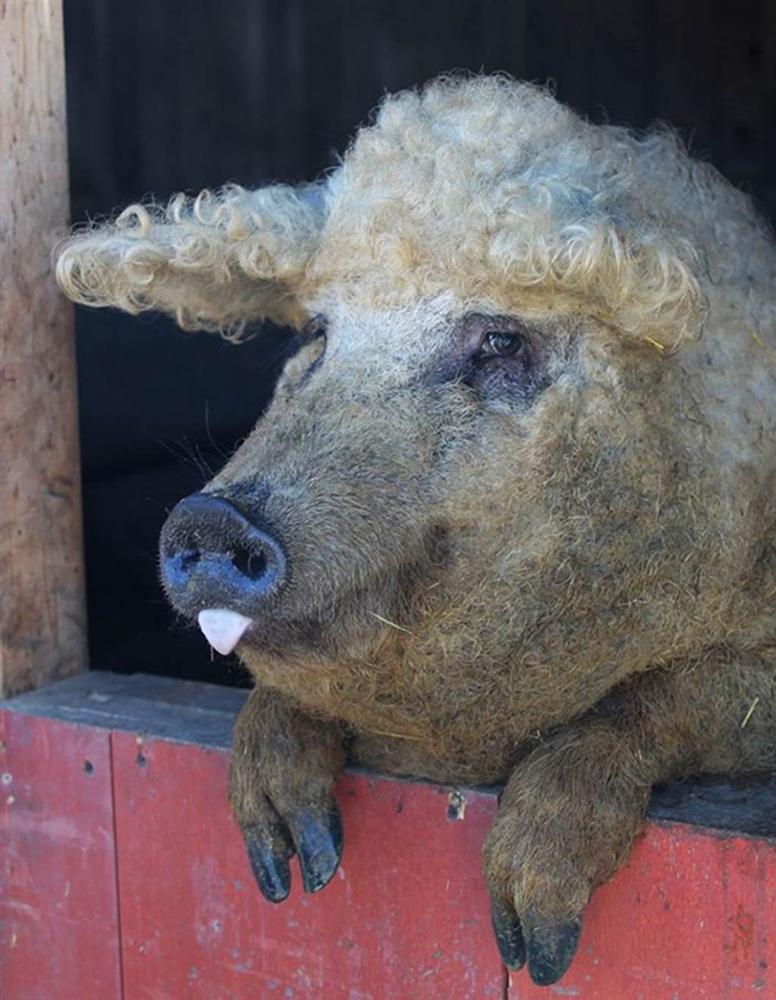 3 loài lợn quái vật: Loại như cừu, có vòi, dáng dị chưa từng thấy-2
