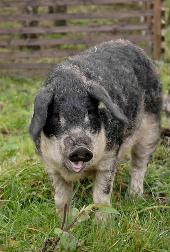3 loài lợn quái vật: Loại như cừu, có vòi, dáng dị chưa từng thấy-3