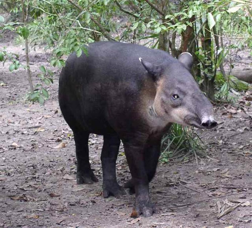3 loài lợn quái vật: Loại như cừu, có vòi, dáng dị chưa từng thấy-6