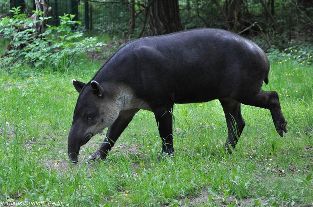 3 loài lợn quái vật: Loại như cừu, có vòi, dáng dị chưa từng thấy-7