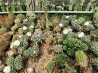 Bộ sưu tập xương rồng cả nghìn loại cực quý hiếm và đắt ở miền Tây