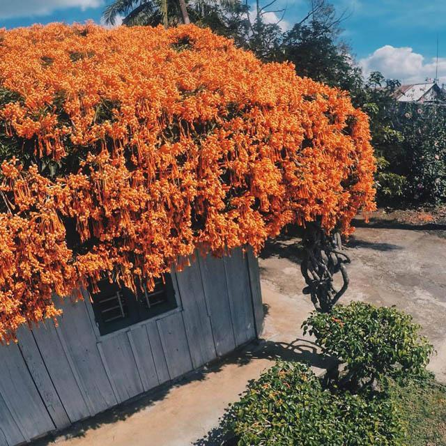 Hội chị em phát sốt đòi kéo nhau đi Lâm Đồng check in ở ngôi nhà phủ đầy hoa da cam như truyện cổ tích, từng lên cả báo Mỹ-4