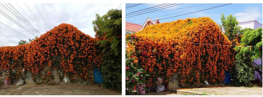 Hội chị em phát sốt đòi kéo nhau đi Lâm Đồng check in ở ngôi nhà phủ đầy hoa da cam như truyện cổ tích, từng lên cả báo Mỹ-7