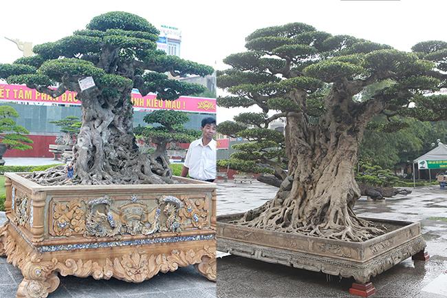 Mua cây sanh cổ quá cao, cắt làm đôi tạo thành 2 cây bán gần 20 tỷ-1