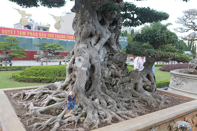 Mua cây sanh cổ quá cao, cắt làm đôi tạo thành 2 cây bán gần 20 tỷ-15