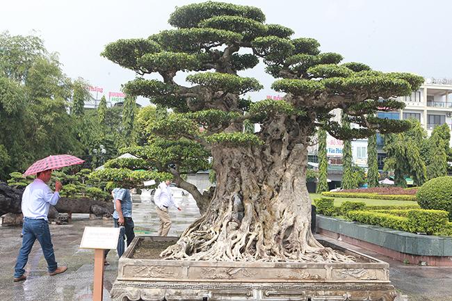Mua cây sanh cổ quá cao, cắt làm đôi tạo thành 2 cây bán gần 20 tỷ-3