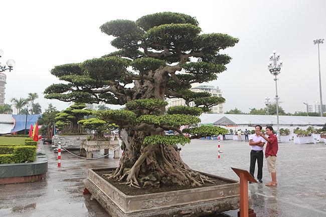 Mua cây sanh cổ quá cao, cắt làm đôi tạo thành 2 cây bán gần 20 tỷ-5