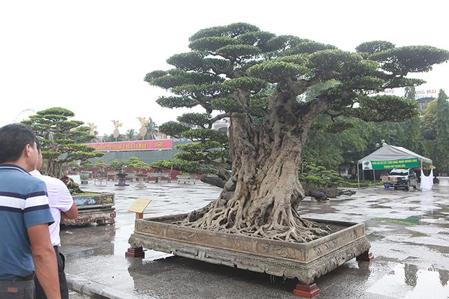 Mua cây sanh cổ quá cao, cắt làm đôi tạo thành 2 cây bán gần 20 tỷ-6