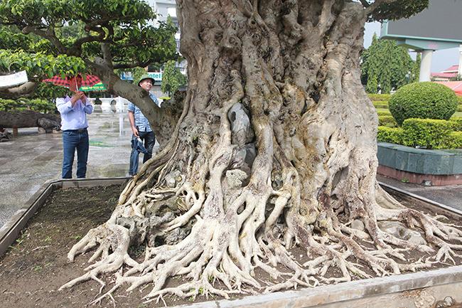 Mua cây sanh cổ quá cao, cắt làm đôi tạo thành 2 cây bán gần 20 tỷ-8