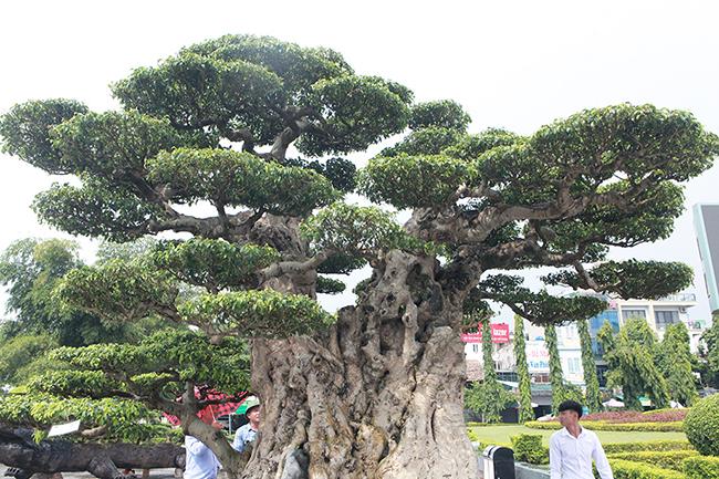 Mua cây sanh cổ quá cao, cắt làm đôi tạo thành 2 cây bán gần 20 tỷ-9