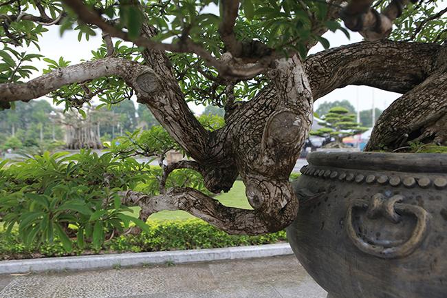 Cây mận rừng 50 tuổi thân nứt như da cá sấu giá hơn 1 tỷ-12