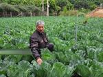 Bắp cải giá 1.000đồng/bắp, nông dân định băm nhỏ ủ làm phân-4