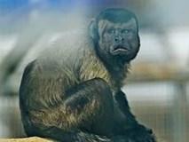 Chú khỉ có gương mặt giống hệt người đàn ông đau khổ gây sốt tại Trung Quốc