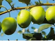 Loại quả giòn tan, nhiều vitamin gấp 10 lần cam, quýt này đang vào mùa: Hãy tranh thủ mua về ăn và tận dụng chữa vô số bệnh
