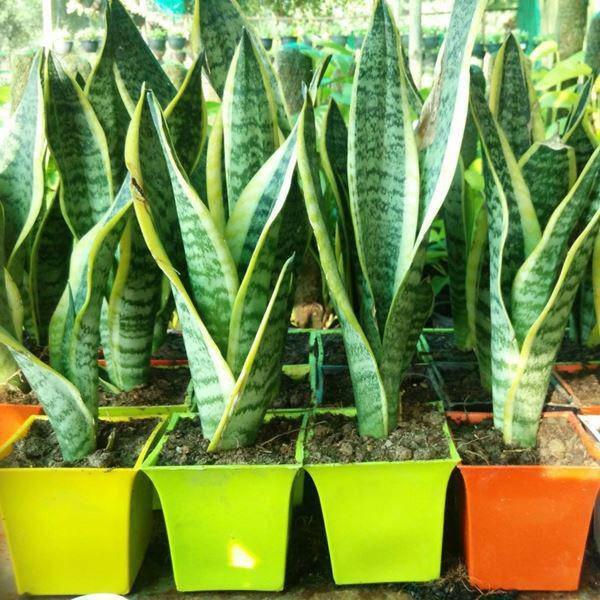 Tuổi Mùi hợp cây gì trồng trong nhà sẽ hút nhiều tài lộc, may mắn cho gia chủ?-4