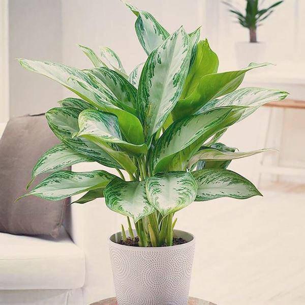 Tuổi Mùi hợp cây gì trồng trong nhà sẽ hút nhiều tài lộc, may mắn cho gia chủ?-8