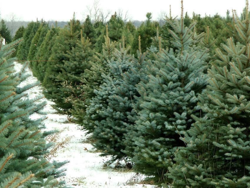 Thông tươi chơi Noel, 30 triệu/cây trưng mấy hôm rồi làm củi-1