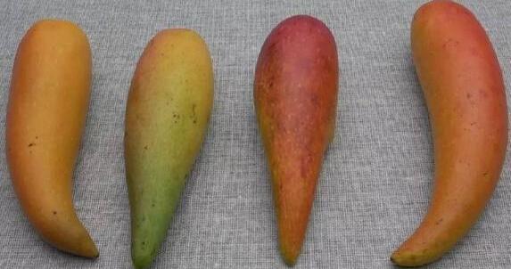 Tận mục quả xoài nhìn xa ngỡ trái ớt, hạt nhỏ như que tăm gây sốt-9