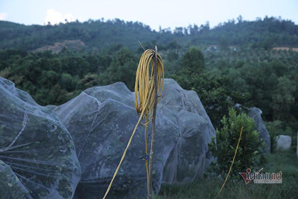 Đồi cam 6 tỷ kỳ lạ nhất Việt Nam, 2.000 cây mắc màn trắng cả rừng-10
