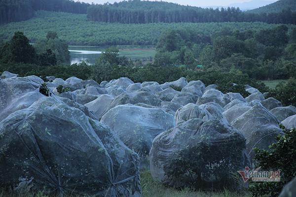 Đồi cam 6 tỷ kỳ lạ nhất Việt Nam, 2.000 cây mắc màn trắng cả rừng-2