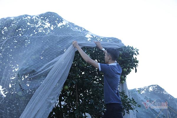 Đồi cam 6 tỷ kỳ lạ nhất Việt Nam, 2.000 cây mắc màn trắng cả rừng-4